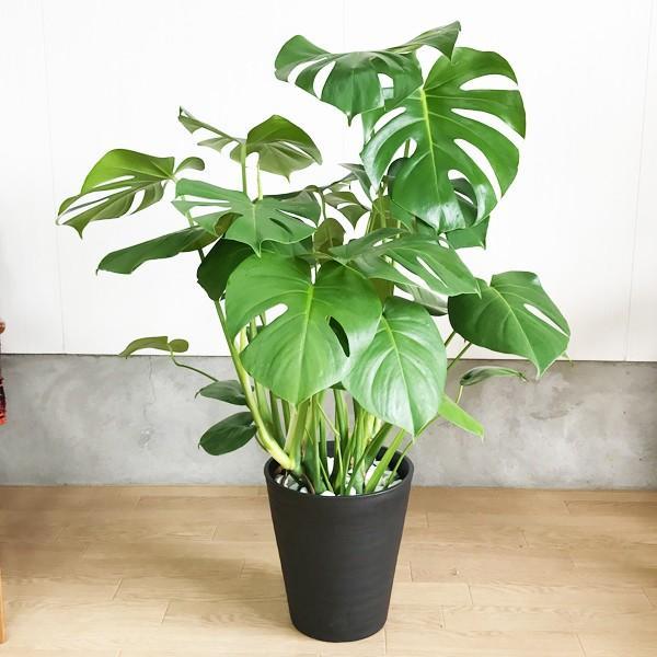 モンステラ  観葉植物 ブラックセラアート鉢 送料無料 大サイズ 大型|pg869|03