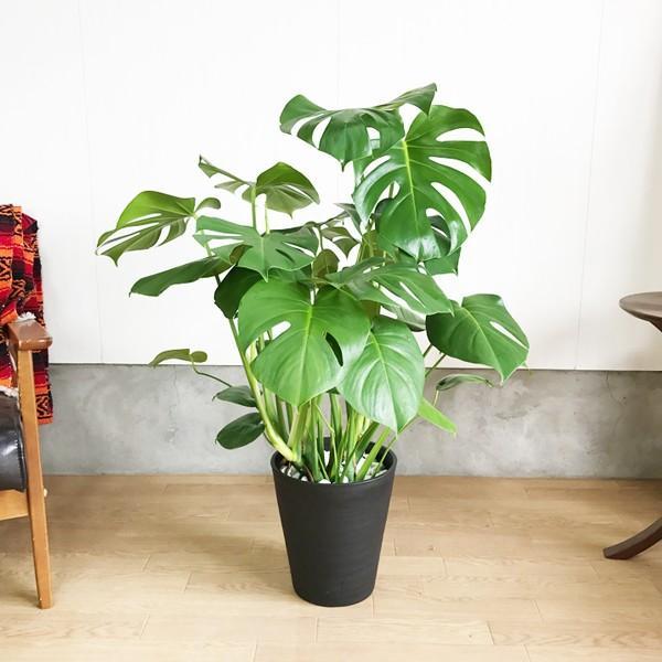 モンステラ  観葉植物 ブラックセラアート鉢 送料無料 大サイズ 大型|pg869|04