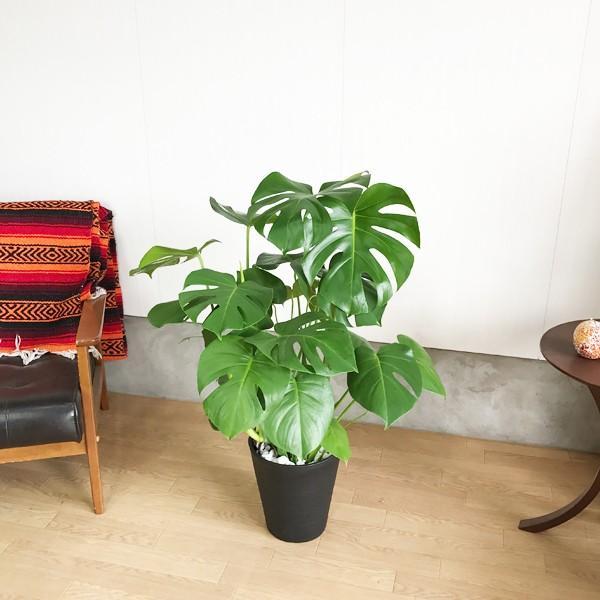 モンステラ  観葉植物 ブラックセラアート鉢 送料無料 大サイズ 大型|pg869|05