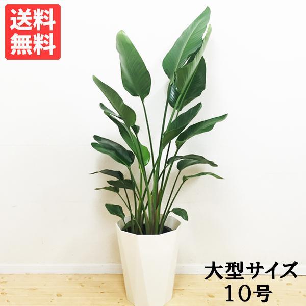 送料無料 オーガスタ 大サイズ 大鉢 10号鉢 観葉植物 大型|pg869