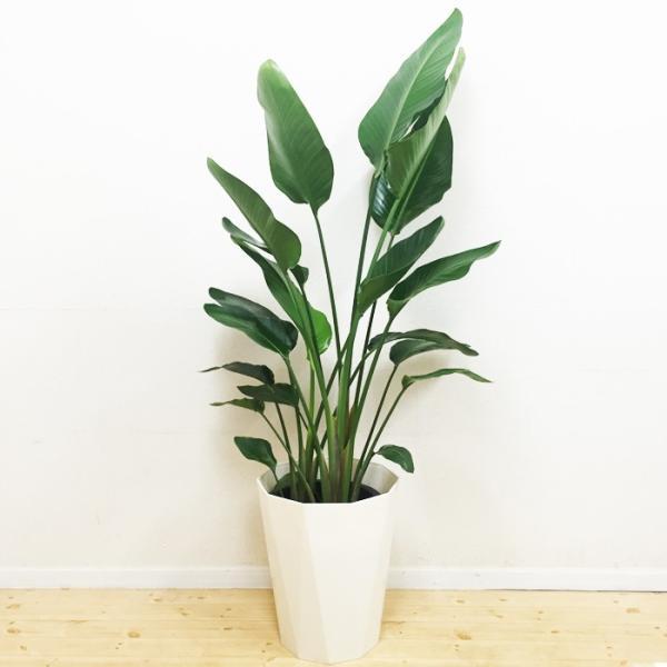送料無料 オーガスタ 大サイズ 大鉢 10号鉢 観葉植物 大型|pg869|02