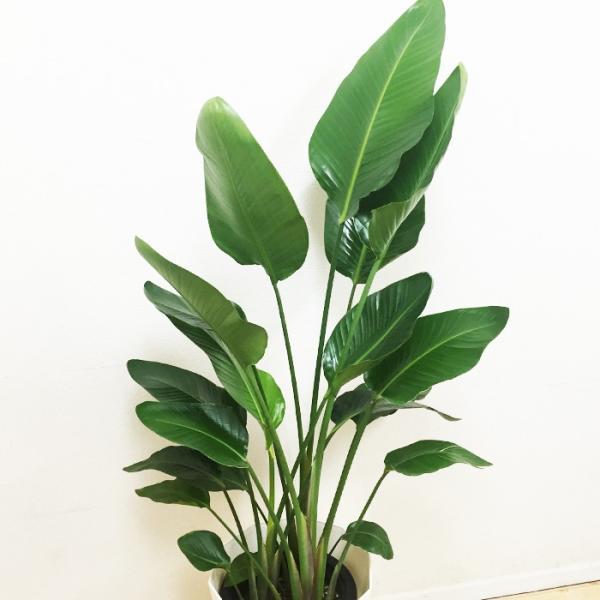 送料無料 オーガスタ 大サイズ 大鉢 10号鉢 観葉植物 大型|pg869|03