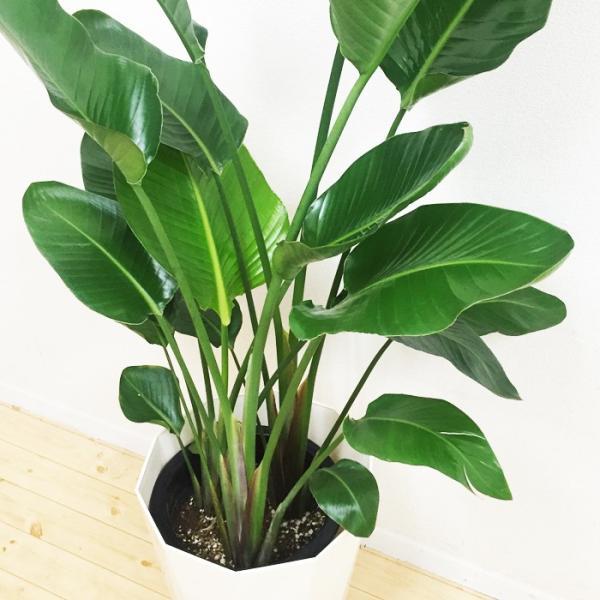 送料無料 オーガスタ 大サイズ 大鉢 10号鉢 観葉植物 大型|pg869|04