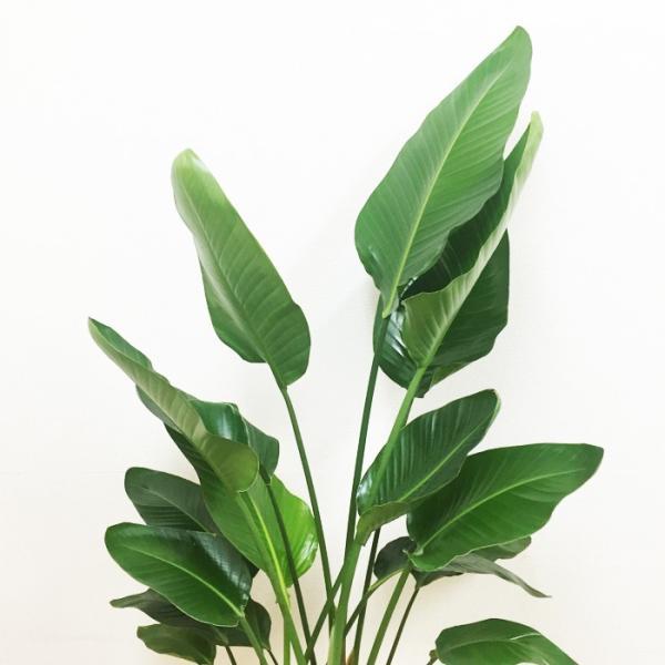 送料無料 オーガスタ 大サイズ 大鉢 10号鉢 観葉植物 大型|pg869|05