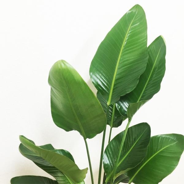 送料無料 オーガスタ 大サイズ 大鉢 10号鉢 観葉植物 大型|pg869|06