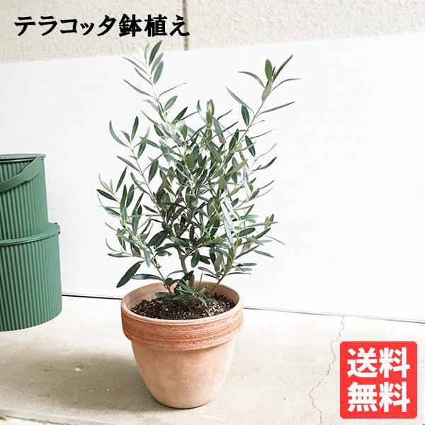 観葉植物のパーフェクトグリーン『オリーブ イタリア製テラコッタ鉢植え』