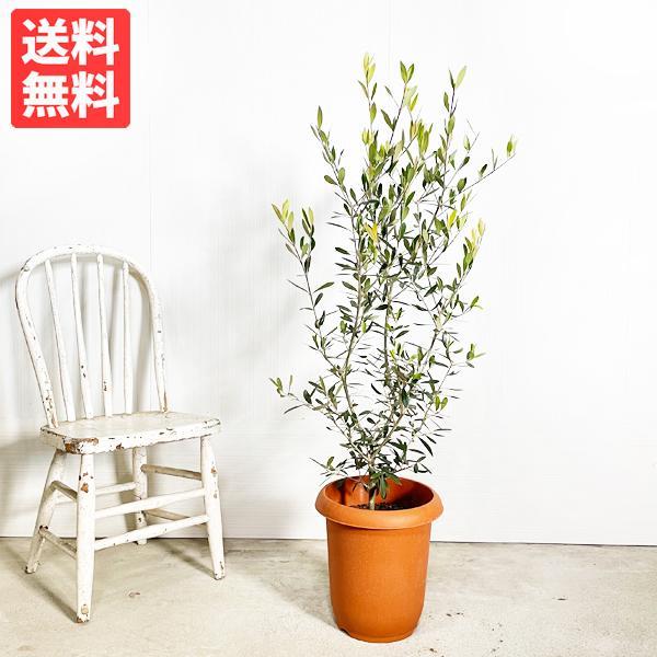 オリーブ 送料無料 オリーブの木 観葉植物 庭木 鉢植え お買い得|pg869