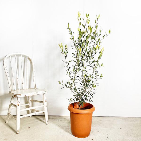 オリーブ 送料無料 オリーブの木 観葉植物 庭木 鉢植え お買い得|pg869|02