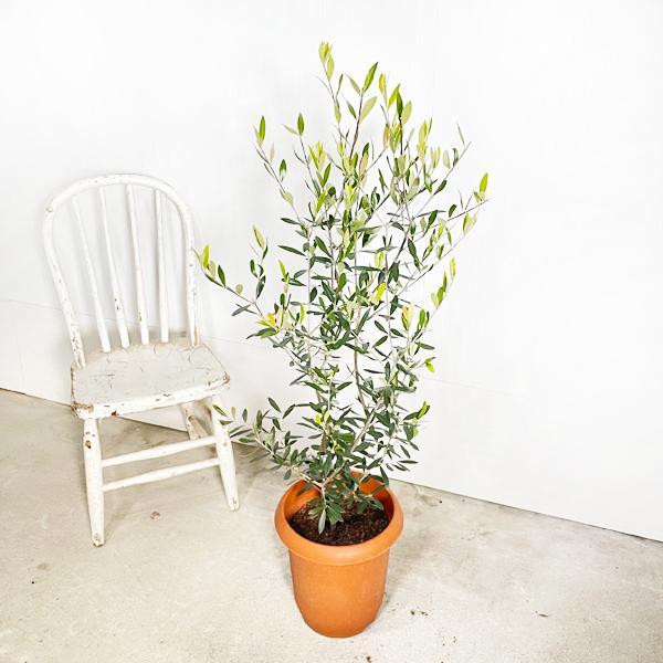 オリーブ 送料無料 オリーブの木 観葉植物 庭木 鉢植え お買い得|pg869|03