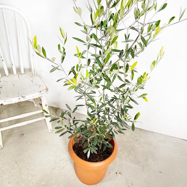 オリーブ 送料無料 オリーブの木 観葉植物 庭木 鉢植え お買い得|pg869|04