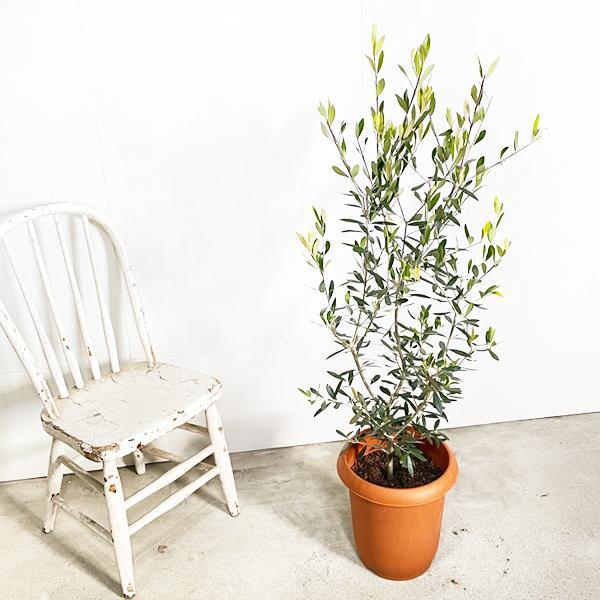 オリーブ 送料無料 オリーブの木 観葉植物 庭木 鉢植え お買い得|pg869|05