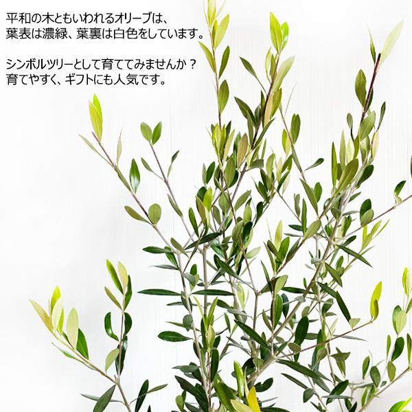 オリーブ 送料無料 オリーブの木 観葉植物 庭木 鉢植え お買い得|pg869|06