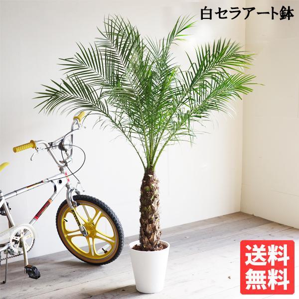 フェニックス ロベレニー 8号鉢 状態良し ヤシ 送料無料 観葉植物 ヤシの木 大型|pg869