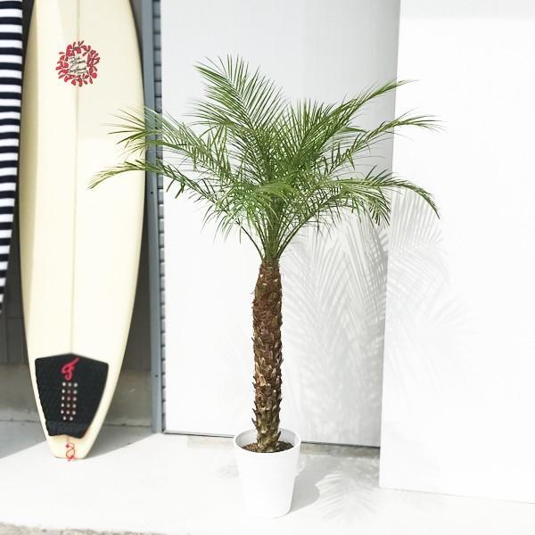 フェニックス ロベレニー 8号鉢 状態良し ヤシ 送料無料 観葉植物 ヤシの木 大型|pg869|02