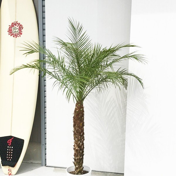 フェニックス ロベレニー 8号鉢 状態良し ヤシ 送料無料 観葉植物 ヤシの木 大型|pg869|03