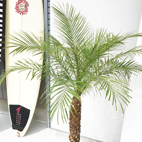フェニックス ロベレニー 8号鉢 状態良し ヤシ 送料無料 観葉植物 ヤシの木 大型|pg869|04