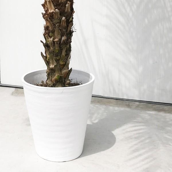フェニックス ロベレニー 8号鉢 状態良し ヤシ 送料無料 観葉植物 ヤシの木 大型|pg869|05