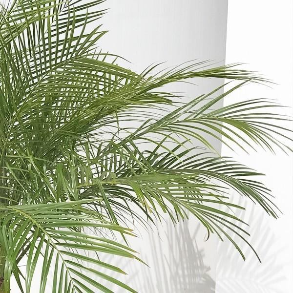 フェニックス ロベレニー 8号鉢 状態良し ヤシ 送料無料 観葉植物 ヤシの木 大型|pg869|06