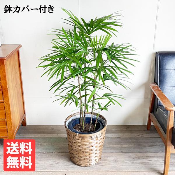棕櫚竹 シュロチク 鉢カバー付 寒さに強い 観葉植物 送料無料 中型〜大型|pg869