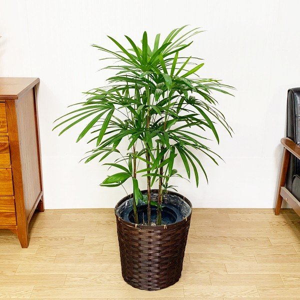 棕櫚竹 シュロチク 鉢カバー付 寒さに強い 観葉植物 送料無料 中型〜大型|pg869|02