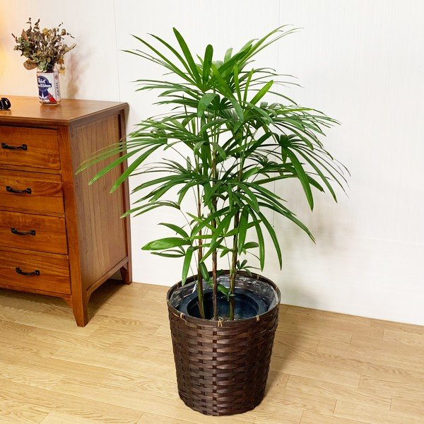 棕櫚竹 シュロチク 鉢カバー付 寒さに強い 観葉植物 送料無料 中型〜大型|pg869|03