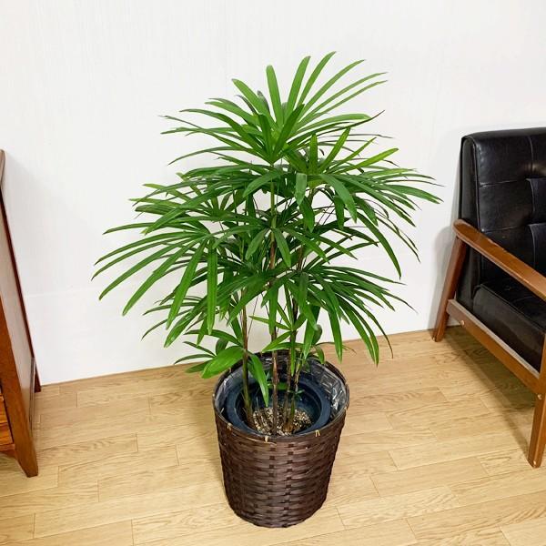 棕櫚竹 シュロチク 鉢カバー付 寒さに強い 観葉植物 送料無料 中型〜大型|pg869|04