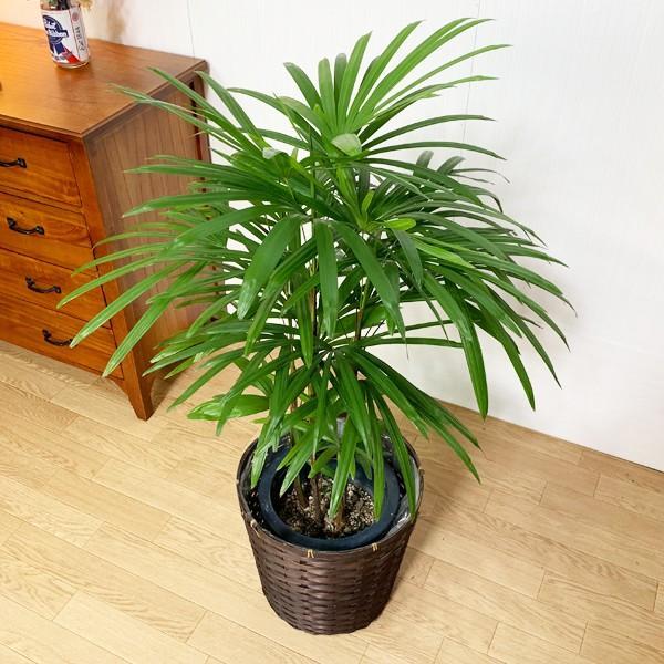 棕櫚竹 シュロチク 鉢カバー付 寒さに強い 観葉植物 送料無料 中型〜大型|pg869|05