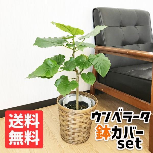フィカス ウンベラータ ゴムの木 鉢カバー付 観葉植物 ウランベータ|pg869