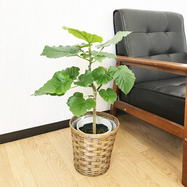 フィカス ウンベラータ ゴムの木 鉢カバー付 観葉植物|pg869|02