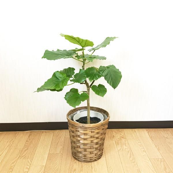フィカス ウンベラータ ゴムの木 鉢カバー付 観葉植物|pg869|03