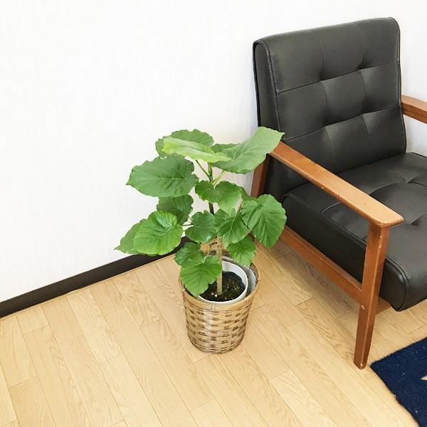 フィカス ウンベラータ ゴムの木 鉢カバー付 観葉植物|pg869|04