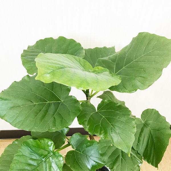フィカス ウンベラータ ゴムの木 鉢カバー付 観葉植物 ウランベータ|pg869|05