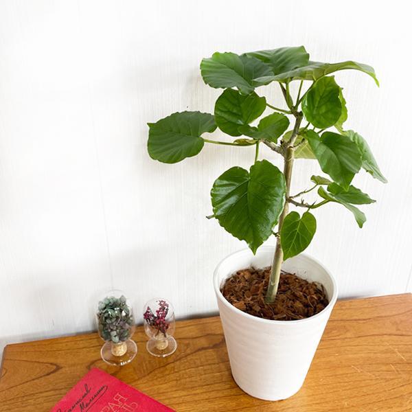 フィカス ウンベラータ ホワイトセラアート鉢植え 観葉植物 中型 ゴムの木 ウランベータ|pg869|02