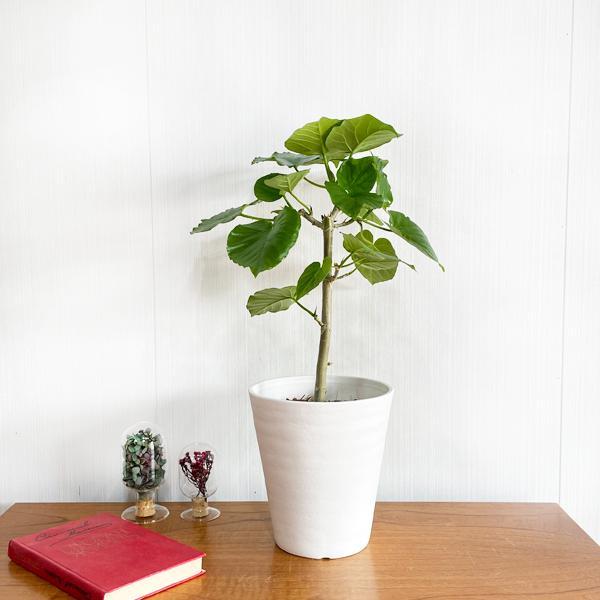 フィカス ウンベラータ ホワイトセラアート鉢植え 観葉植物 中型 ゴムの木 ウランベータ|pg869|03