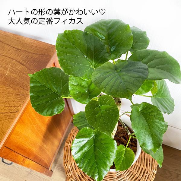 フィカス ウンベラータ ホワイトセラアート鉢植え 観葉植物 中型 ゴムの木 ウランベータ|pg869|04
