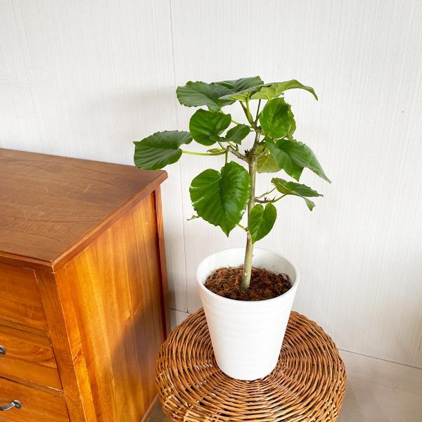 フィカス ウンベラータ ホワイトセラアート鉢植え 送料無料 観葉植物 中型 ゴムの木 ウランベータ|pg869|05