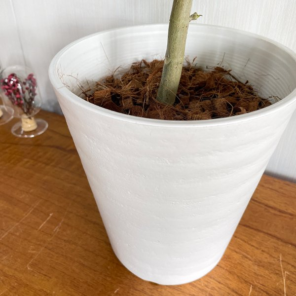 フィカス ウンベラータ ホワイトセラアート鉢植え 観葉植物 中型 ゴムの木 ウランベータ|pg869|06