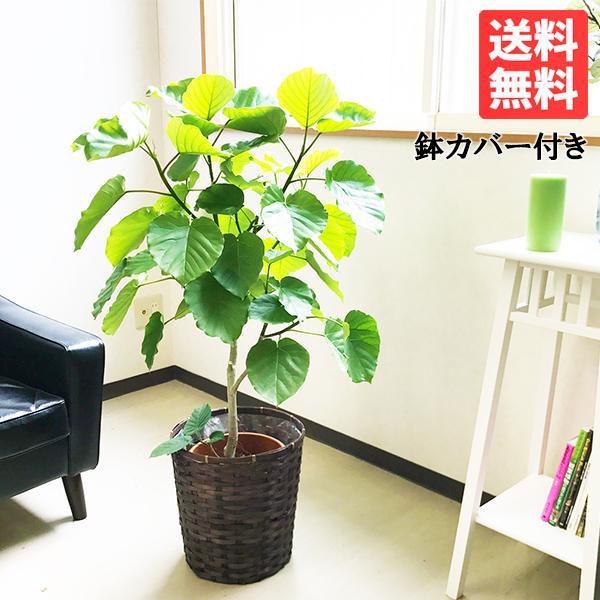 ウンベラータ 鉢カバー付 送料無料 観葉植物 中〜大型サイズ フィカス ゴムの木 ウランベータ