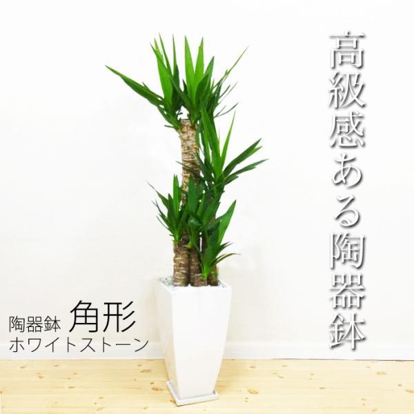 ユッカ 青年の樹 陶器鉢 角型 観葉植物 青年の木 送料無料|pg869