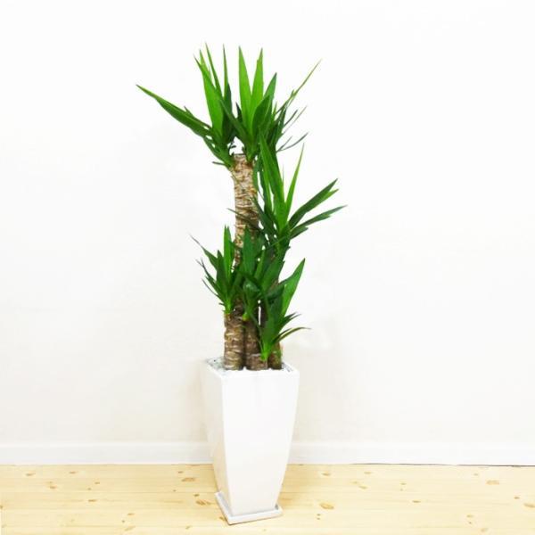 ユッカ 青年の樹 陶器鉢 角型 観葉植物 青年の木 送料無料|pg869|02