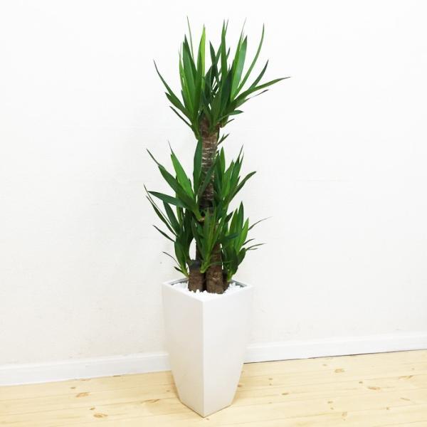 ユッカ 青年の樹 陶器鉢 角型 観葉植物 青年の木 送料無料|pg869|03