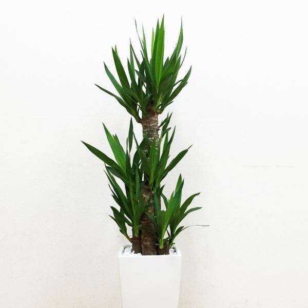 ユッカ 青年の樹 陶器鉢 角型 観葉植物 青年の木 送料無料|pg869|04