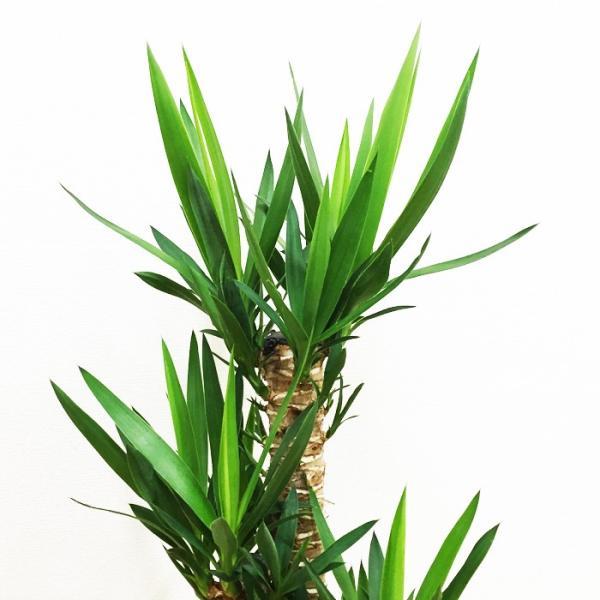 ユッカ 青年の樹 陶器鉢 角型 観葉植物 青年の木 送料無料|pg869|05