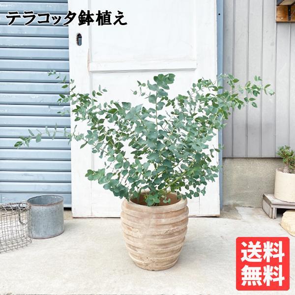 ユーカリ アンティークテラコッタ鉢植え 送料無料 ユーカリの木 鉢植え 観葉植物 ベランダ テラス バルコニー ハーブ 玄関