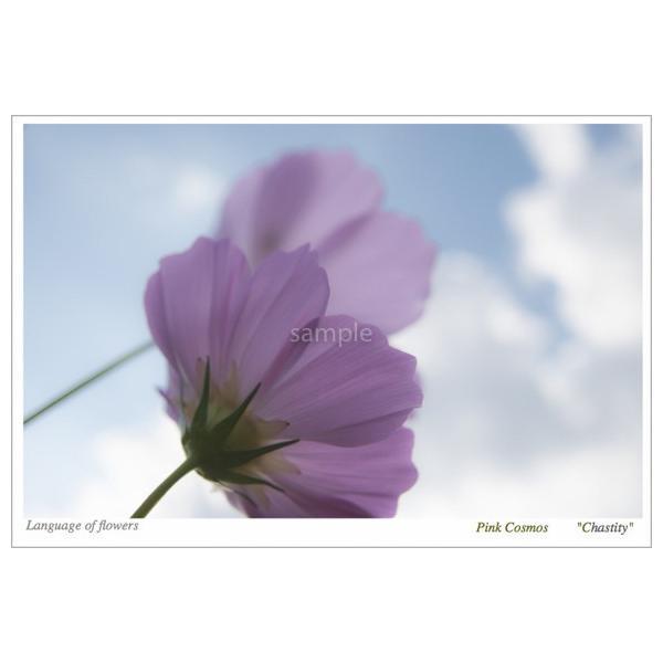コスモスピンク(花言葉付きポストカード)|photoroom-g