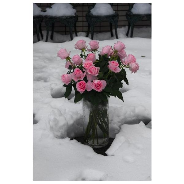 雪の中の薔薇・ピンクのバラポストカード|photoroom-g