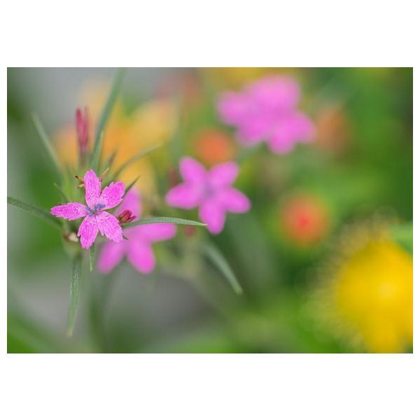ピンクの花ポストカード|photoroom-g