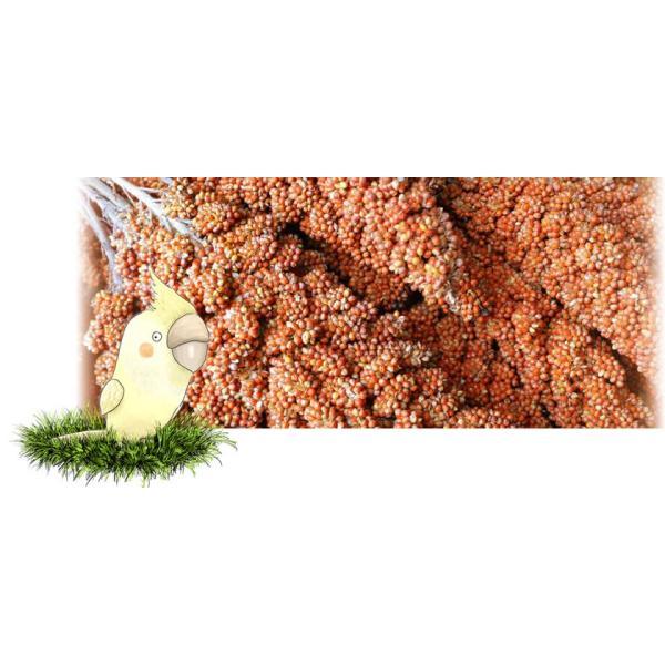 フランス産紅粟の穂 500g×1|piyocyu-ash