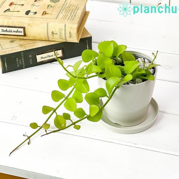 多肉植物 ディスキディア ヌンムフォリア 3号ポット Dischidia|planchu