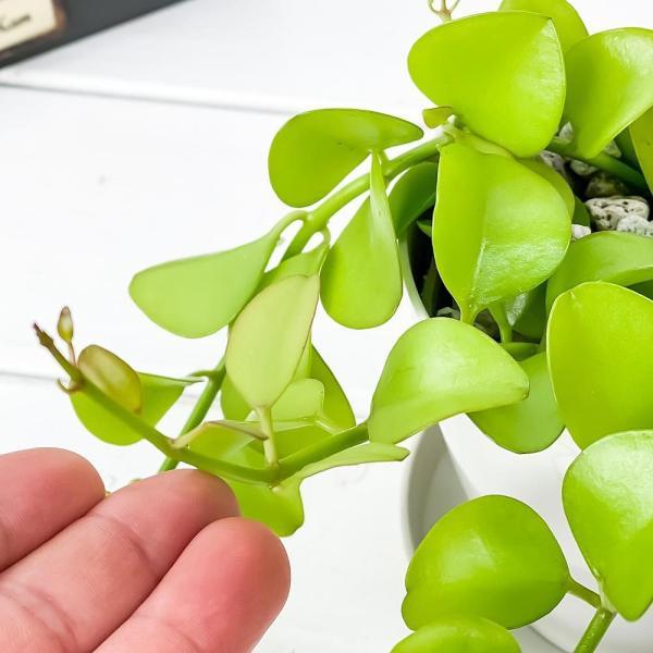 多肉植物 ディスキディア ヌンムフォリア 3号ポット Dischidia|planchu|02
